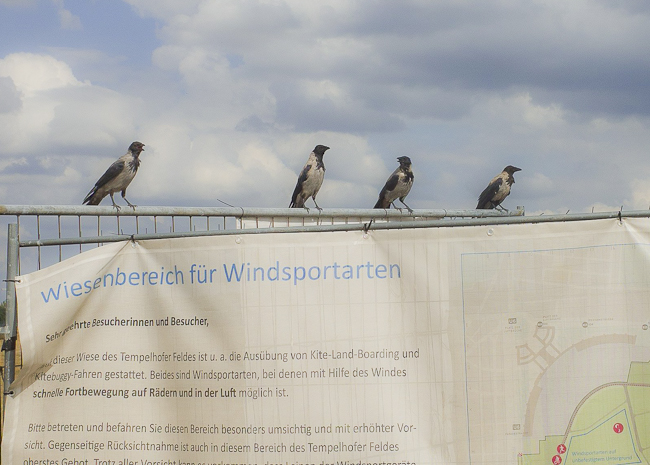 crows at airfield of former airport Tempelhof